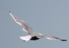 seagull_floating4.png -
