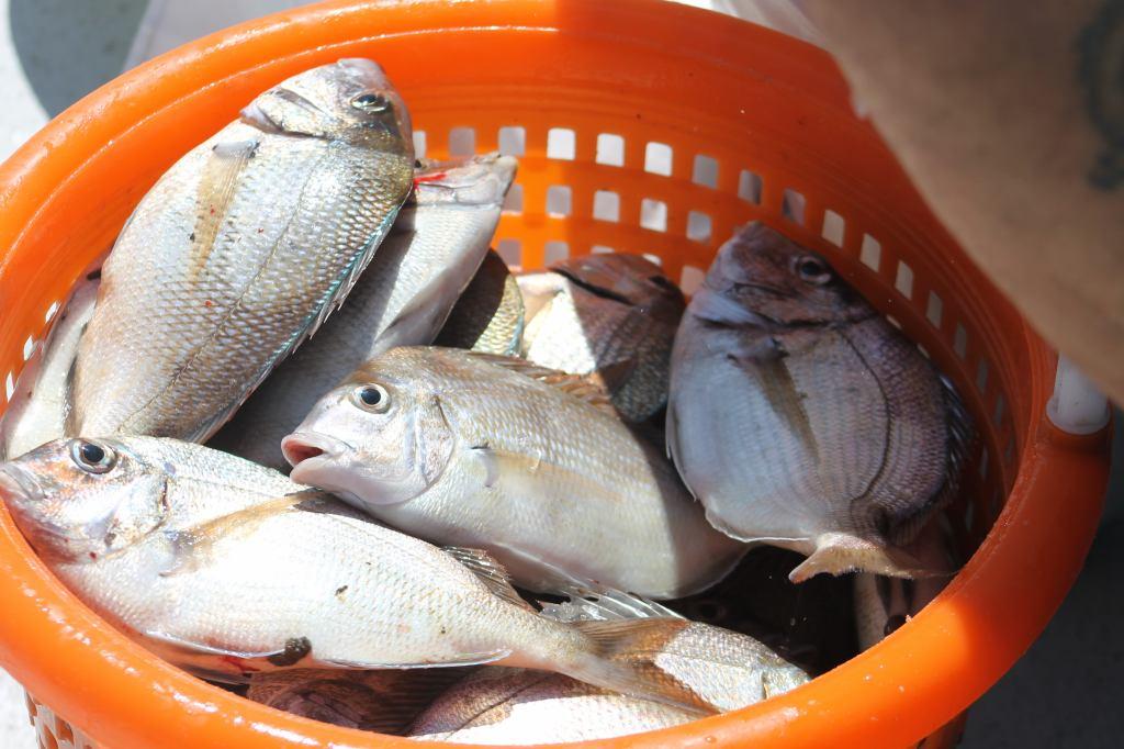 Jamaica Bay Porgy Bounty