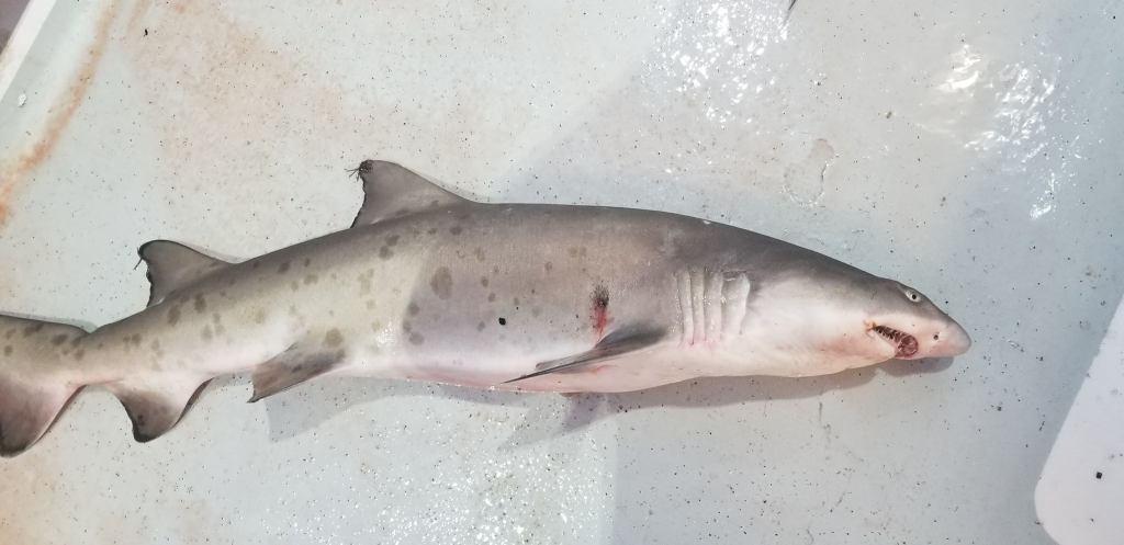 Dusty Shark