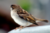 birds_of_sheehshead_bay_sparrow.png -
