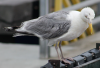 birds_of_sheehshead_bay_gul.png -